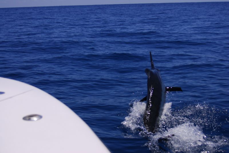 Chasing this Blue marlin down while fighting him during a light tackle billfish charter out of Stuart Fl.