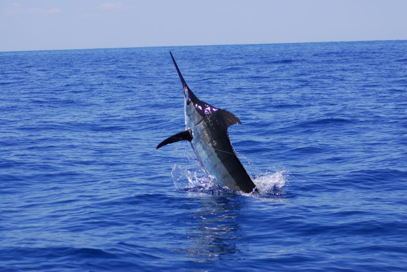 Stuart Fl. fishing charters, this full day packed blue marlin, amberjacks and permit. talk about a little of everything.