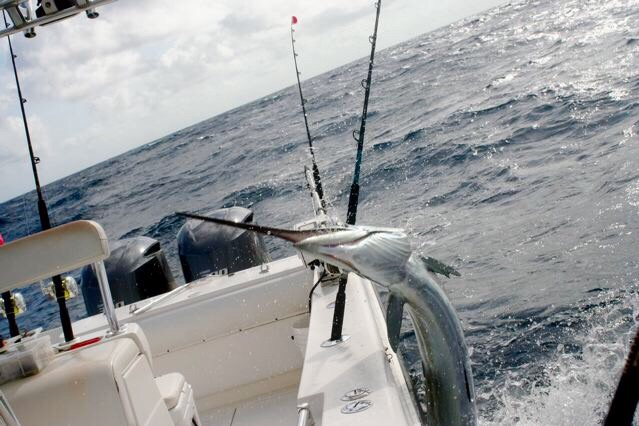 Sailfish are literally jumping in the boat during our Stuart Florida Fishing Charters for Sailfish today