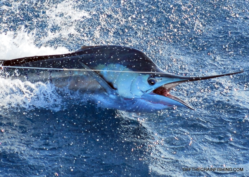 Treasure Coast Sailfish Charters. Live Bait, Kite Fishing Charters for Sailfish. Stuart Fl.Sailfish Charters