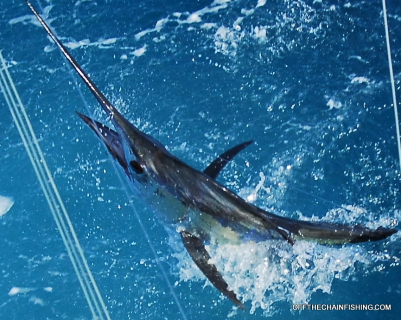 Winter Sailfishing off Stuart Fl. Charter boat Off the Chain