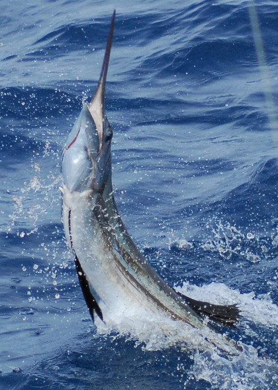 A sailfish jumps while being released on a TREASURE COAST FISHING CHARTER