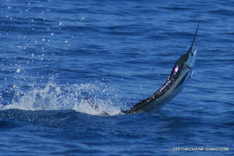 We hooked this fish OFF THE CHAIN Treasure Coast sailfish charters